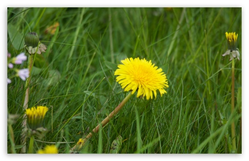 Dandelion ❤ 4K UHD Wallpaper for Wide 16:10 5:3 Widescreen WHXGA WQXGA WUXGA WXGA WGA ; 4K UHD 16:9 Ultra High Definition 2160p 1440p 1080p 900p 720p ; Standard 4:3 5:4 3:2 Fullscreen UXGA XGA SVGA QSXGA SXGA DVGA HVGA HQVGA ( Apple PowerBook G4 iPhone 4 3G 3GS iPod Touch ) ; Smartphone 5:3 WGA ; Tablet 1:1 ; iPad 1/2/Mini ; Mobile 4:3 5:3 3:2 16:9 5:4 - UXGA XGA SVGA WGA DVGA HVGA HQVGA ( Apple PowerBook G4 iPhone 4 3G 3GS iPod Touch ) 2160p 1440p 1080p 900p 720p QSXGA SXGA ;
