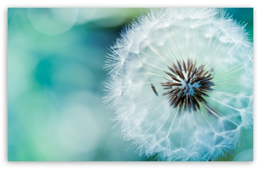 Dandelion ❤ 4K UHD Wallpaper for Wide 16:10 5:3 Widescreen WHXGA WQXGA WUXGA WXGA WGA ; 4K UHD 16:9 Ultra High Definition 2160p 1440p 1080p 900p 720p ; Standard 4:3 5:4 3:2 Fullscreen UXGA XGA SVGA QSXGA SXGA DVGA HVGA HQVGA ( Apple PowerBook G4 iPhone 4 3G 3GS iPod Touch ) ; Smartphone 16:9 3:2 5:3 2160p 1440p 1080p 900p 720p DVGA HVGA HQVGA ( Apple PowerBook G4 iPhone 4 3G 3GS iPod Touch ) WGA ; Tablet 1:1 ; iPad 1/2/Mini ; Mobile 4:3 5:3 3:2 16:9 5:4 - UXGA XGA SVGA WGA DVGA HVGA HQVGA ( Apple PowerBook G4 iPhone 4 3G 3GS iPod Touch ) 2160p 1440p 1080p 900p 720p QSXGA SXGA ;