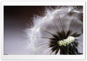 Dandelion Ultra HD Wallpaper for 4K UHD Widescreen desktop, tablet & smartphone