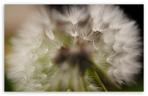 Dandelion ❤ 4K UHD Wallpaper for Wide 16:10 5:3 Widescreen WHXGA WQXGA WUXGA WXGA WGA ; 4K UHD 16:9 Ultra High Definition 2160p 1440p 1080p 900p 720p ; Standard 4:3 5:4 3:2 Fullscreen UXGA XGA SVGA QSXGA SXGA DVGA HVGA HQVGA ( Apple PowerBook G4 iPhone 4 3G 3GS iPod Touch ) ; iPad 1/2/Mini ; Mobile 4:3 5:3 3:2 16:9 5:4 - UXGA XGA SVGA WGA DVGA HVGA HQVGA ( Apple PowerBook G4 iPhone 4 3G 3GS iPod Touch ) 2160p 1440p 1080p 900p 720p QSXGA SXGA ;