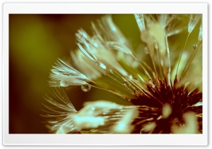 Dandelion After Rain HD Wide Wallpaper for Widescreen