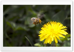 Dandelion And A Bee HD Wide Wallpaper for Widescreen