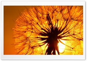 Dandelion And Sun HD Wide Wallpaper for Widescreen