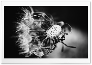 Dandelion Black and White HD Wide Wallpaper for Widescreen
