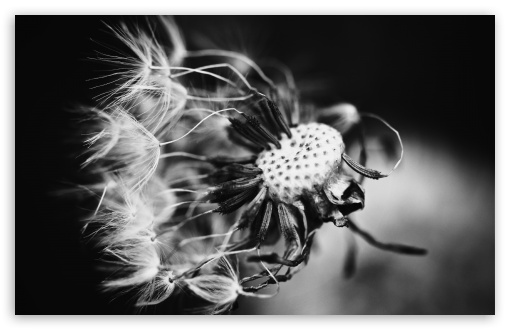 Dandelion Black and White HD wallpaper for Wide 16:10 5:3 Widescreen WHXGA WQXGA WUXGA WXGA WGA ; HD 16:9 High Definition WQHD QWXGA 1080p 900p 720p QHD nHD ; Standard 4:3 5:4 3:2 Fullscreen UXGA XGA SVGA QSXGA SXGA DVGA HVGA HQVGA devices ( Apple PowerBook G4 iPhone 4 3G 3GS iPod Touch ) ; Tablet 1:1 ; iPad 1/2/Mini ; Mobile 4:3 5:3 3:2 16:9 5:4 - UXGA XGA SVGA WGA DVGA HVGA HQVGA devices ( Apple PowerBook G4 iPhone 4 3G 3GS iPod Touch ) WQHD QWXGA 1080p 900p 720p QHD nHD QSXGA SXGA ;