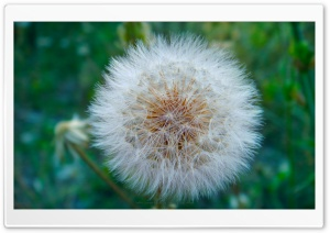 Dandelion Blowball Ultra HD Wallpaper for 4K UHD Widescreen desktop, tablet & smartphone