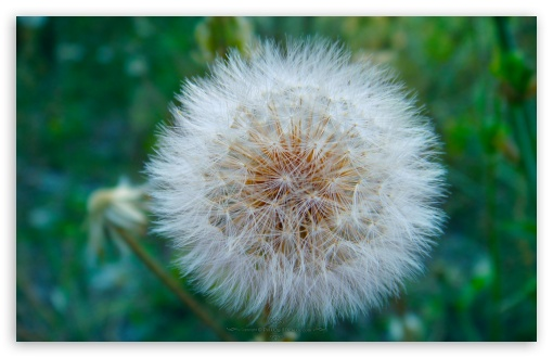 Dandelion Blowball UltraHD Wallpaper for Wide 16:10 5:3 Widescreen WHXGA WQXGA WUXGA WXGA WGA ; 8K UHD TV 16:9 Ultra High Definition 2160p 1440p 1080p 900p 720p ; Standard 4:3 5:4 3:2 Fullscreen UXGA XGA SVGA QSXGA SXGA DVGA HVGA HQVGA ( Apple PowerBook G4 iPhone 4 3G 3GS iPod Touch ) ; Tablet 1:1 ; iPad 1/2/Mini ; Mobile 4:3 5:3 3:2 16:9 5:4 - UXGA XGA SVGA WGA DVGA HVGA HQVGA ( Apple PowerBook G4 iPhone 4 3G 3GS iPod Touch ) 2160p 1440p 1080p 900p 720p QSXGA SXGA ;