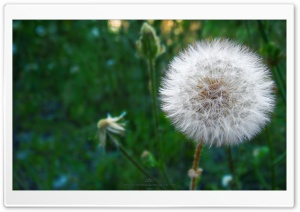 Dandelion Blowball HD Wide Wallpaper for 4K UHD Widescreen desktop & smartphone
