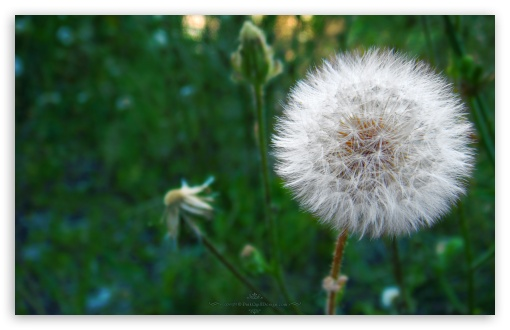 Dandelion Blowball HD wallpaper for Wide 16:10 5:3 Widescreen WHXGA WQXGA WUXGA WXGA WGA ; HD 16:9 High Definition WQHD QWXGA 1080p 900p 720p QHD nHD ; Standard 4:3 5:4 3:2 Fullscreen UXGA XGA SVGA QSXGA SXGA DVGA HVGA HQVGA devices ( Apple PowerBook G4 iPhone 4 3G 3GS iPod Touch ) ; Tablet 1:1 ; iPad 1/2/Mini ; Mobile 4:3 5:3 3:2 16:9 5:4 - UXGA XGA SVGA WGA DVGA HVGA HQVGA devices ( Apple PowerBook G4 iPhone 4 3G 3GS iPod Touch ) WQHD QWXGA 1080p 900p 720p QHD nHD QSXGA SXGA ;