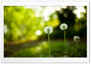 Dandelion Blowballs In The Field HD Wide Wallpaper for Widescreen