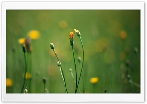 Dandelion Field Bokeh HD Wide Wallpaper for Widescreen