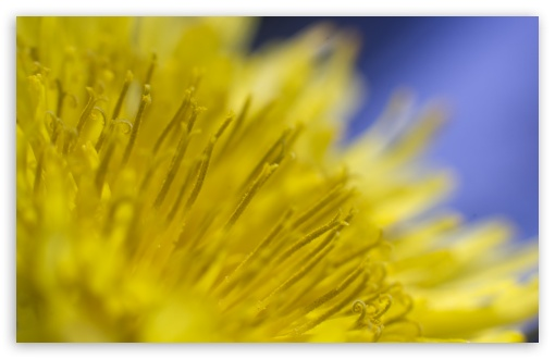 Dandelion Flower HD wallpaper for Wide 16:10 5:3 Widescreen WHXGA WQXGA WUXGA WXGA WGA ; HD 16:9 High Definition WQHD QWXGA 1080p 900p 720p QHD nHD ; UHD 16:9 WQHD QWXGA 1080p 900p 720p QHD nHD ; Standard 4:3 5:4 3:2 Fullscreen UXGA XGA SVGA QSXGA SXGA DVGA HVGA HQVGA devices ( Apple PowerBook G4 iPhone 4 3G 3GS iPod Touch ) ; Smartphone 5:3 WGA ; Tablet 1:1 ; iPad 1/2/Mini ; Mobile 4:3 5:3 3:2 16:9 5:4 - UXGA XGA SVGA WGA DVGA HVGA HQVGA devices ( Apple PowerBook G4 iPhone 4 3G 3GS iPod Touch ) WQHD QWXGA 1080p 900p 720p QHD nHD QSXGA SXGA ; Dual 16:10 5:3 4:3 5:4 WHXGA WQXGA WUXGA WXGA WGA UXGA XGA SVGA QSXGA SXGA ;