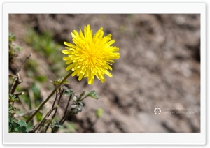 Dandelion Flower HD Wide Wallpaper for 4K UHD Widescreen desktop & smartphone