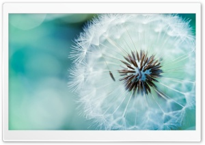 Dandelion Flower HD Wide Wallpaper for Widescreen