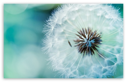 Dandelion Flower HD wallpaper for Standard 4:3 5:4 Fullscreen UXGA XGA SVGA QSXGA SXGA ; Wide 16:10 5:3 Widescreen WHXGA WQXGA WUXGA WXGA WGA ; HD 16:9 High Definition WQHD QWXGA 1080p 900p 720p QHD nHD ; Other 3:2 DVGA HVGA HQVGA devices ( Apple PowerBook G4 iPhone 4 3G 3GS iPod Touch ) ; Mobile VGA WVGA iPhone iPad PSP Phone - VGA QVGA Smartphone ( PocketPC GPS iPod Zune BlackBerry HTC Samsung LG Nokia Eten Asus ) WVGA WQVGA Smartphone ( HTC Samsung Sony Ericsson LG Vertu MIO ) HVGA Smartphone ( Apple iPhone iPod BlackBerry HTC Samsung Nokia ) Sony PSP Zune HD Zen ; Tablet 2 ;