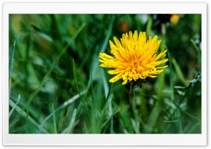 Dandelion Flower Green Grass HD Wide Wallpaper for Widescreen