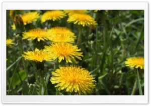 Dandelion Flowers HD Wide Wallpaper for Widescreen