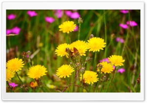 Dandelion Flowers HD Wide Wallpaper for 4K UHD Widescreen desktop & smartphone