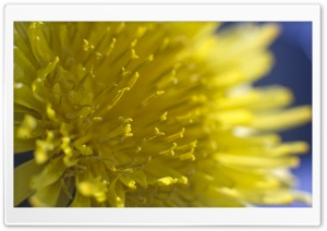 Dandelion Flowers Macro HD Wide Wallpaper for Widescreen