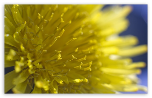 Dandelion Flowers Macro HD wallpaper for Wide 16:10 5:3 Widescreen WHXGA WQXGA WUXGA WXGA WGA ; HD 16:9 High Definition WQHD QWXGA 1080p 900p 720p QHD nHD ; UHD 16:9 WQHD QWXGA 1080p 900p 720p QHD nHD ; Standard 4:3 5:4 3:2 Fullscreen UXGA XGA SVGA QSXGA SXGA DVGA HVGA HQVGA devices ( Apple PowerBook G4 iPhone 4 3G 3GS iPod Touch ) ; Smartphone 5:3 WGA ; Tablet 1:1 ; iPad 1/2/Mini ; Mobile 4:3 5:3 3:2 16:9 5:4 - UXGA XGA SVGA WGA DVGA HVGA HQVGA devices ( Apple PowerBook G4 iPhone 4 3G 3GS iPod Touch ) WQHD QWXGA 1080p 900p 720p QHD nHD QSXGA SXGA ;
