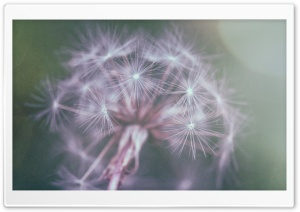 Dandelion Fluff HD Wide Wallpaper for Widescreen