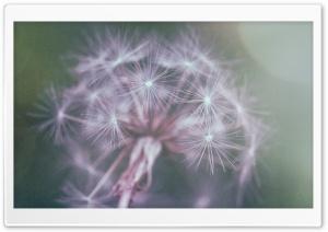 Dandelion Fluff Ultra HD Wallpaper for 4K UHD Widescreen desktop, tablet & smartphone