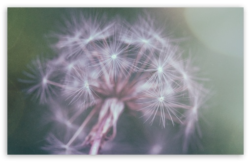 Dandelion Fluff HD wallpaper for Standard 4:3 5:4 Fullscreen UXGA XGA SVGA QSXGA SXGA ; Wide 16:10 5:3 Widescreen WHXGA WQXGA WUXGA WXGA WGA ; HD 16:9 High Definition WQHD QWXGA 1080p 900p 720p QHD nHD ; Other 3:2 DVGA HVGA HQVGA devices ( Apple PowerBook G4 iPhone 4 3G 3GS iPod Touch ) ; Mobile VGA WVGA iPhone iPad PSP Phone - VGA QVGA Smartphone ( PocketPC GPS iPod Zune BlackBerry HTC Samsung LG Nokia Eten Asus ) WVGA WQVGA Smartphone ( HTC Samsung Sony Ericsson LG Vertu MIO ) HVGA Smartphone ( Apple iPhone iPod BlackBerry HTC Samsung Nokia ) Sony PSP Zune HD Zen ; Tablet 2 Android ; Dual 4:3 5:4 16:10 5:3 16:9 UXGA XGA SVGA QSXGA SXGA WHXGA WQXGA WUXGA WXGA WGA WQHD QWXGA 1080p 900p 720p QHD nHD ;