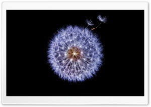 Dandelion Globular Head of Seeds, Black Background HD Wide Wallpaper for 4K UHD Widescreen desktop & smartphone