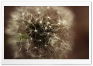 Dandelion Head HD Wide Wallpaper for Widescreen