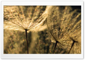 Dandelion Macro HD Wide Wallpaper for Widescreen