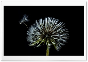 Dandelion Make a Wish HD Wide Wallpaper for Widescreen