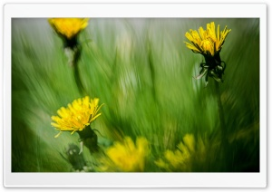 Dandelion Meadow HD Wide Wallpaper for Widescreen
