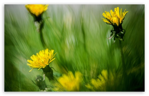 Dandelion Meadow ❤ 4K UHD Wallpaper for Wide 16:10 5:3 Widescreen WHXGA WQXGA WUXGA WXGA WGA ; 4K UHD 16:9 Ultra High Definition 2160p 1440p 1080p 900p 720p ; UHD 16:9 2160p 1440p 1080p 900p 720p ; Standard 4:3 5:4 3:2 Fullscreen UXGA XGA SVGA QSXGA SXGA DVGA HVGA HQVGA ( Apple PowerBook G4 iPhone 4 3G 3GS iPod Touch ) ; Smartphone 5:3 WGA ; Tablet 1:1 ; iPad 1/2/Mini ; Mobile 4:3 5:3 3:2 16:9 5:4 - UXGA XGA SVGA WGA DVGA HVGA HQVGA ( Apple PowerBook G4 iPhone 4 3G 3GS iPod Touch ) 2160p 1440p 1080p 900p 720p QSXGA SXGA ; Dual 16:10 5:3 16:9 WHXGA WQXGA WUXGA WXGA WGA 2160p 1440p 1080p 900p 720p ;