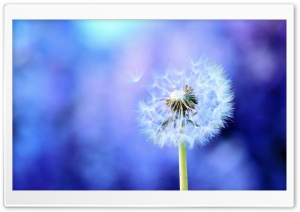 Dandelion On Purple Background HD Wide Wallpaper for Widescreen