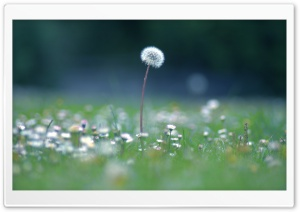 Dandelion Seed Head HD Wide Wallpaper for 4K UHD Widescreen desktop & smartphone