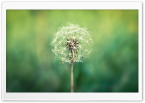 Dandelion Seeds HD Wide Wallpaper for Widescreen