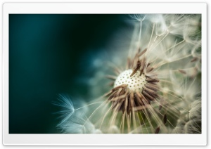 Dandelion Seeds Macro HD Wide Wallpaper for 4K UHD Widescreen desktop & smartphone