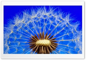 Dandelion Seeds Macro, Blue Sky Ultra HD Wallpaper for 4K UHD Widescreen desktop, tablet & smartphone