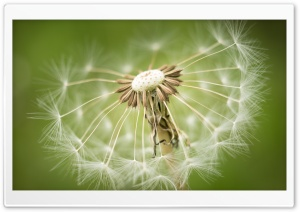 Dandelion Seeds Macro, Green background HD Wide Wallpaper for Widescreen