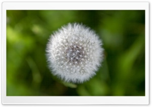 Dandelion Wish HD Wide Wallpaper for Widescreen
