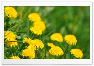 Dandelions HD Wide Wallpaper for Widescreen