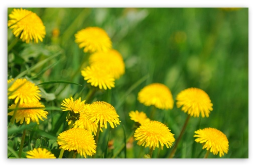 Dandelions HD wallpaper for Wide 16:10 5:3 Widescreen WHXGA WQXGA WUXGA WXGA WGA ; HD 16:9 High Definition WQHD QWXGA 1080p 900p 720p QHD nHD ; Standard 4:3 5:4 3:2 Fullscreen UXGA XGA SVGA QSXGA SXGA DVGA HVGA HQVGA devices ( Apple PowerBook G4 iPhone 4 3G 3GS iPod Touch ) ; Tablet 1:1 ; iPad 1/2/Mini ; Mobile 4:3 5:3 3:2 16:9 5:4 - UXGA XGA SVGA WGA DVGA HVGA HQVGA devices ( Apple PowerBook G4 iPhone 4 3G 3GS iPod Touch ) WQHD QWXGA 1080p 900p 720p QHD nHD QSXGA SXGA ; Dual 4:3 5:4 UXGA XGA SVGA QSXGA SXGA ;