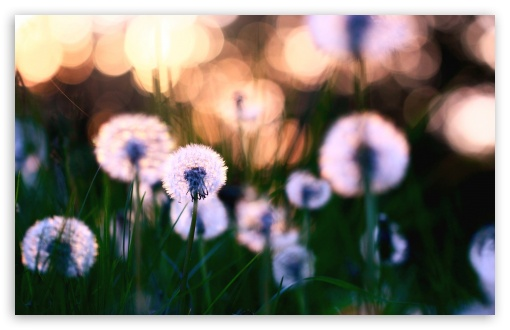 Dandelions ❤ 4K UHD Wallpaper for Wide 16:10 5:3 Widescreen WHXGA WQXGA WUXGA WXGA WGA ; 4K UHD 16:9 Ultra High Definition 2160p 1440p 1080p 900p 720p ; Standard 4:3 5:4 3:2 Fullscreen UXGA XGA SVGA QSXGA SXGA DVGA HVGA HQVGA ( Apple PowerBook G4 iPhone 4 3G 3GS iPod Touch ) ; Tablet 1:1 ; iPad 1/2/Mini ; Mobile 4:3 5:3 3:2 16:9 5:4 - UXGA XGA SVGA WGA DVGA HVGA HQVGA ( Apple PowerBook G4 iPhone 4 3G 3GS iPod Touch ) 2160p 1440p 1080p 900p 720p QSXGA SXGA ; Dual 16:10 5:3 16:9 4:3 5:4 WHXGA WQXGA WUXGA WXGA WGA 2160p 1440p 1080p 900p 720p UXGA XGA SVGA QSXGA SXGA ;