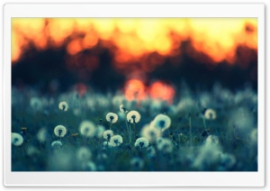 Dandelions At Sunset HD Wide Wallpaper for Widescreen