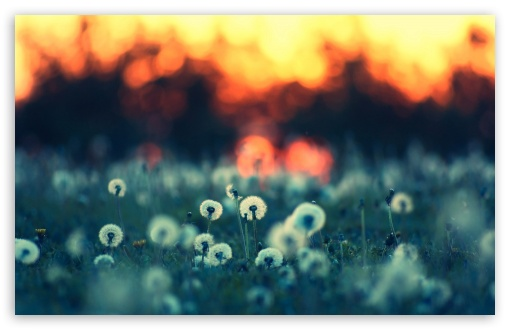 Dandelions At Sunset HD wallpaper for Standard 4:3 5:4 Fullscreen UXGA XGA SVGA QSXGA SXGA ; Wide 16:10 5:3 Widescreen WHXGA WQXGA WUXGA WXGA WGA ; HD 16:9 High Definition WQHD QWXGA 1080p 900p 720p QHD nHD ; Other 3:2 DVGA HVGA HQVGA devices ( Apple PowerBook G4 iPhone 4 3G 3GS iPod Touch ) ; Mobile VGA WVGA iPhone iPad PSP Phone - VGA QVGA Smartphone ( PocketPC GPS iPod Zune BlackBerry HTC Samsung LG Nokia Eten Asus ) WVGA WQVGA Smartphone ( HTC Samsung Sony Ericsson LG Vertu MIO ) HVGA Smartphone ( Apple iPhone iPod BlackBerry HTC Samsung Nokia ) Sony PSP Zune HD Zen ; Tablet 2 Android ; Dual 4:3 5:4 16:10 5:3 16:9 UXGA XGA SVGA QSXGA SXGA WHXGA WQXGA WUXGA WXGA WGA WQHD QWXGA 1080p 900p 720p QHD nHD ;