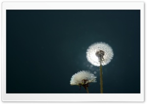 Dandelions Close Up HD Wide Wallpaper for Widescreen