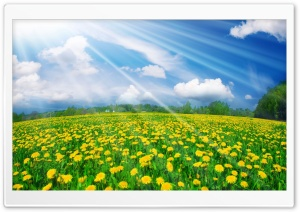 Dandelions Field HD Wide Wallpaper for Widescreen