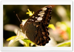 Dark Butterfly Macro HD Wide Wallpaper for Widescreen