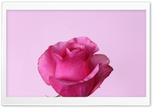 Dark Pink Rose HD Wide Wallpaper for Widescreen