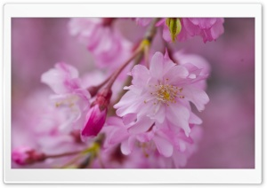 Dark Pink Sakura Macro HD Wide Wallpaper for Widescreen